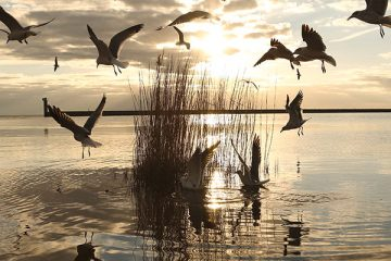 Gulls on the Louisiana Coast